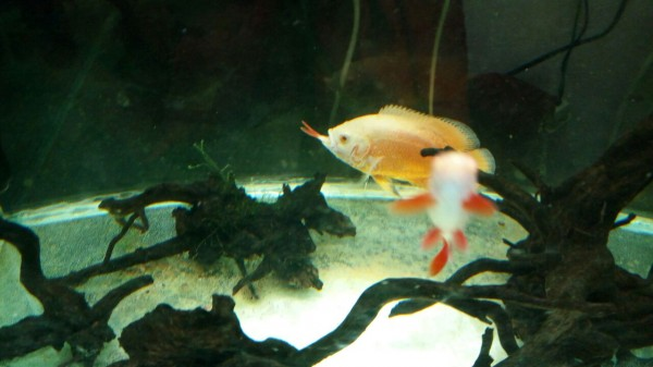 oscar-eating-albino-rainbow-shark